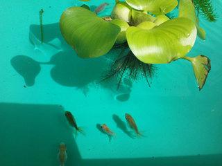 金魚 屋外水槽